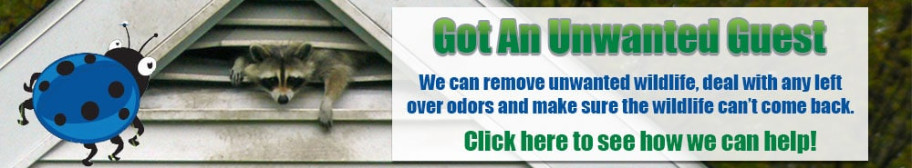 Raccoon Removal Tampa - Florida Humane Wildlife Removal