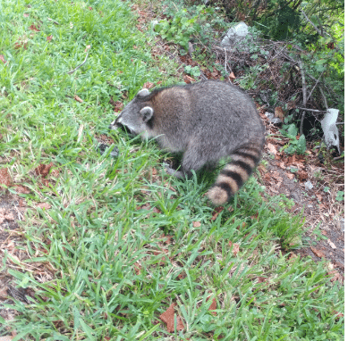 Tampa Raccoon Removal