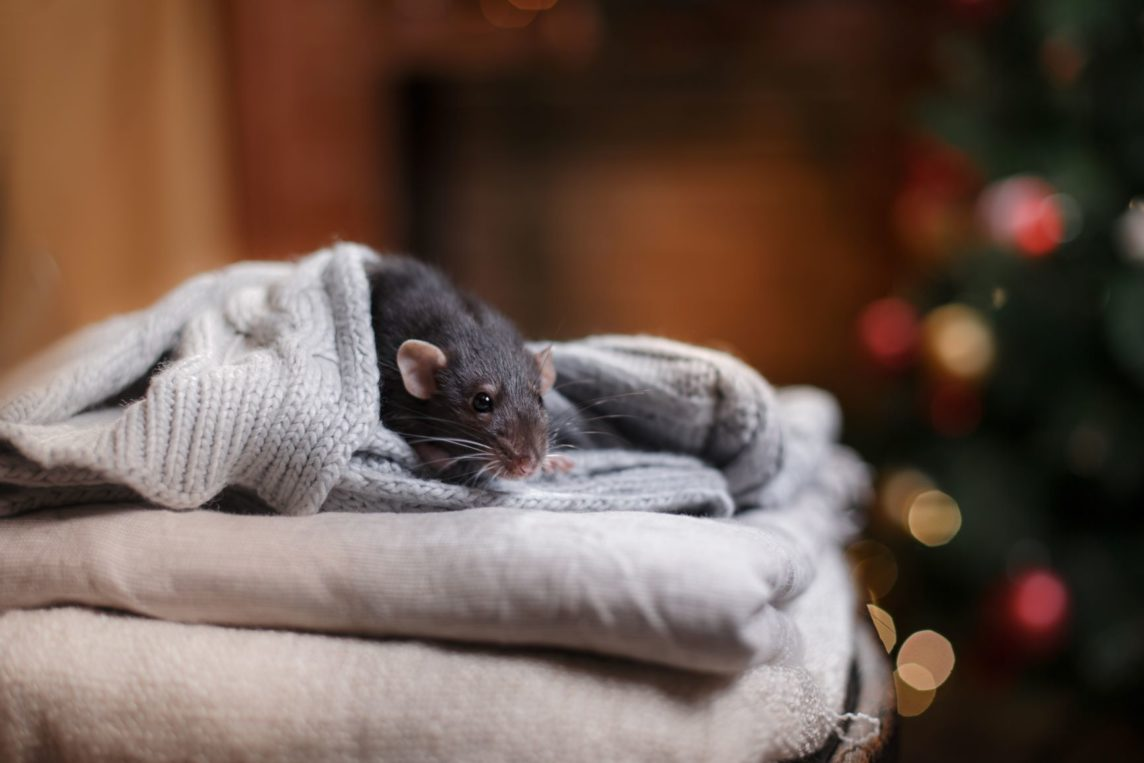 winter pests mouse in blanket