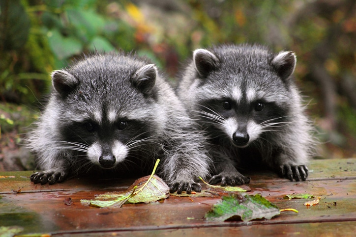 two cute raccoon outside of home