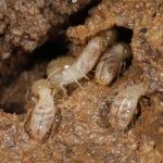 Prevent Subterranean Termites