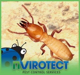 What are Formosan Subterranean Termites?